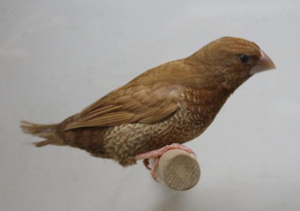 Rosso bruno (maschio)