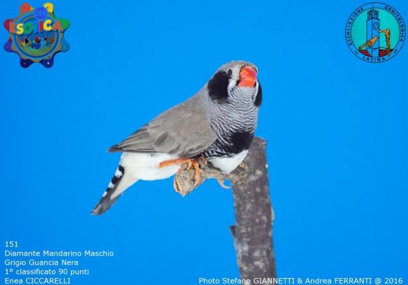 151_grigio-guancia-nera-maschio-1-90-pti-ciccarelli-enea-img_0269_1