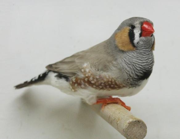 Grigio dorso chiaro (maschio)
