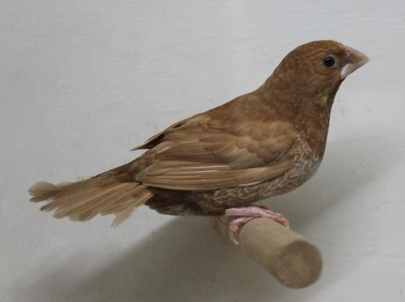 Rosso bruno (femmina)
