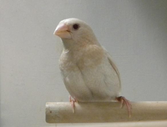 Ino (maschio)