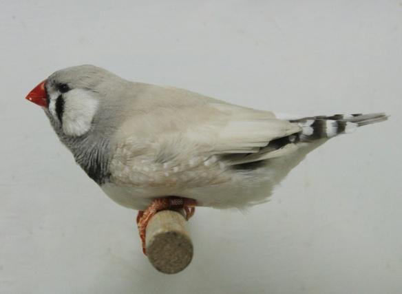 Grigio dorso chiaro diluito (maschio)