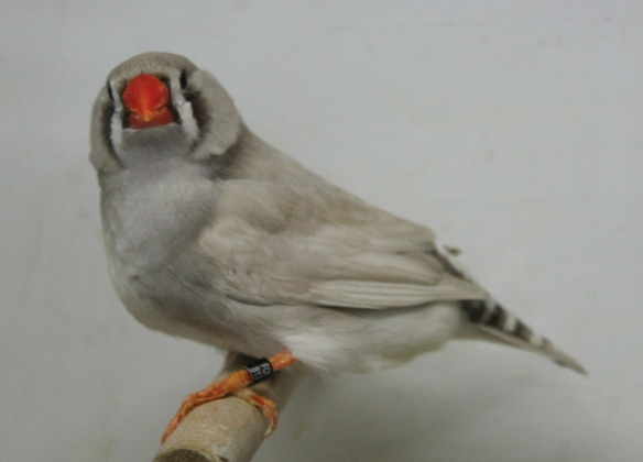 Grigio dorso chiaro diluito (femmina)