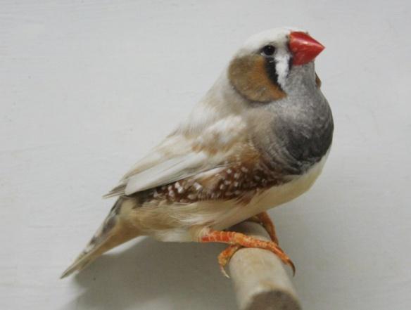 Grigio guancia (maschio)
