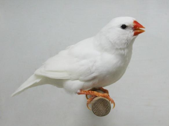 Bianco (femmina)