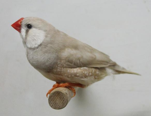 Bruno diluito (maschio)