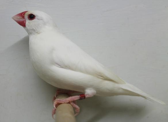Padda bianco
