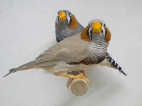 Bruno becco giallo e grigio becco giallo a confronto (maschi)