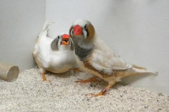 Grigio guancia (coppia)