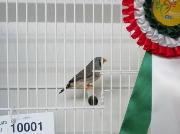 Campionato Italiano Rimini 2012 (1° class. becco giallo femmina)