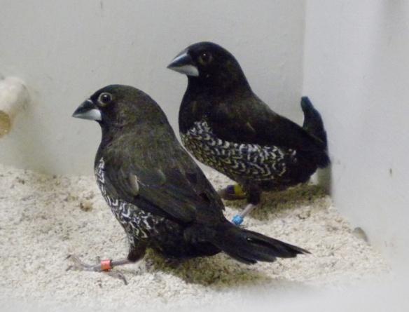 Nero grigio (coppia)