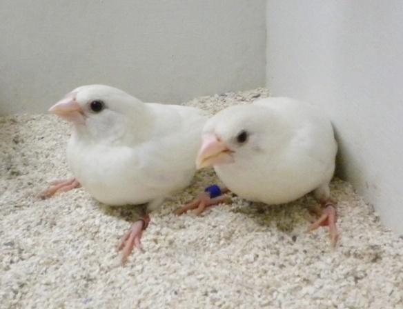 Bianco (coppia)