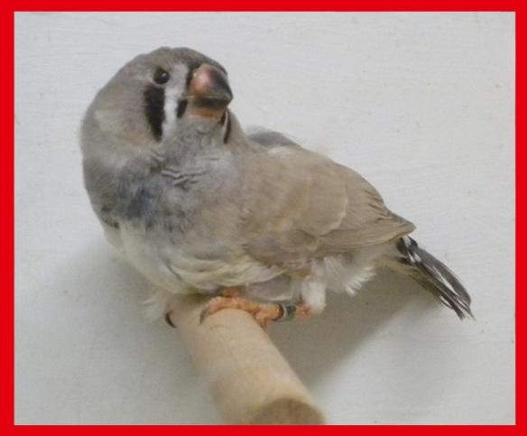 Grigio dorso chiaro (maschio) a 35 giorni