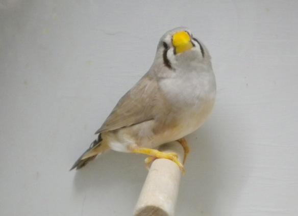 Bruno becco giallo (femmina)