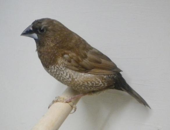 Moka bruno (femmina)