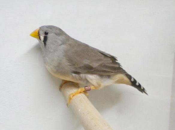 Grigio becco giallo (femmina)