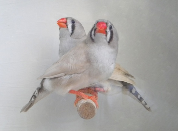 Grigio dorso chiaro diluito (femmine)