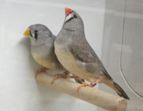 Grigio becco giallo e portatore a confronto (femmine)