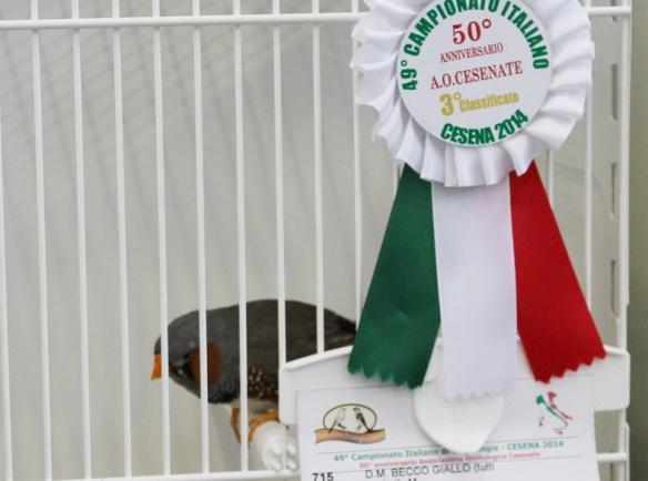 Campionato Italiano Cesena 2014 (2° class. Grigio becco giallo maschio)