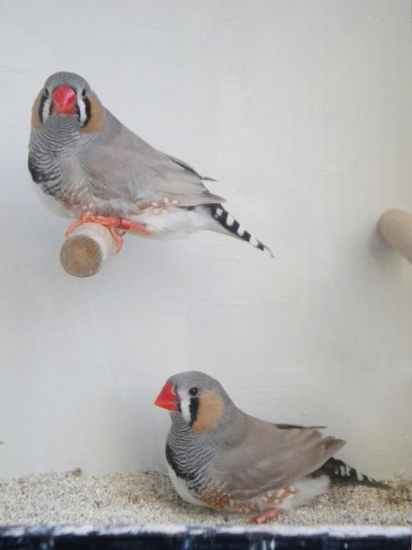 Due maschi con guance scariche di colore e poco stacco testa/dorso