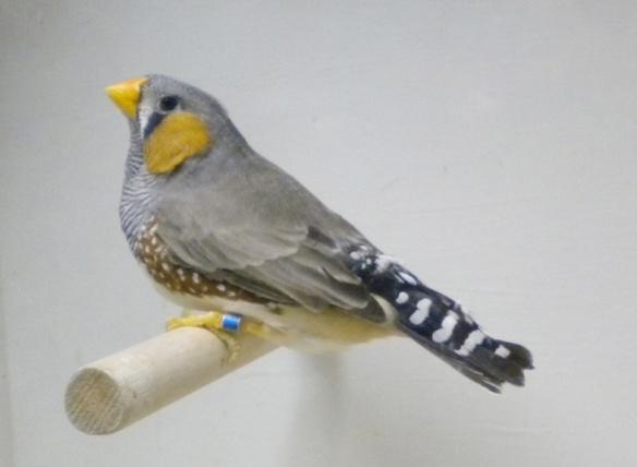 Grigio becco giallo (maschio)