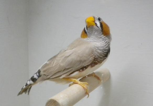 Bruno becco giallo (maschio)