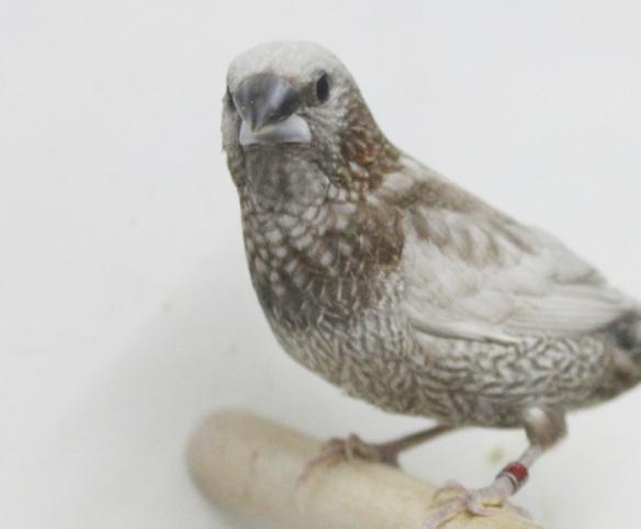Perla bruno (maschio)
