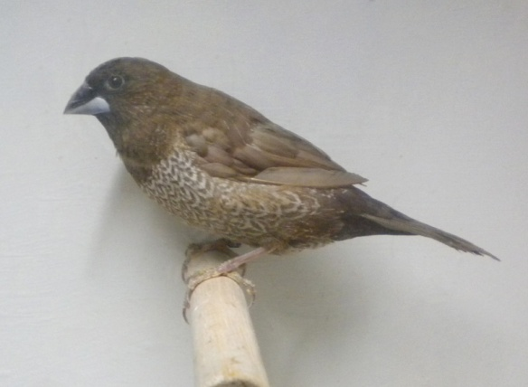 Moka bruno (maschio)