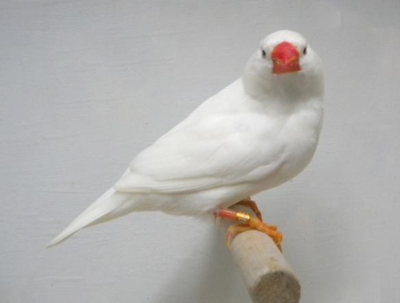 Bianco (maschio)