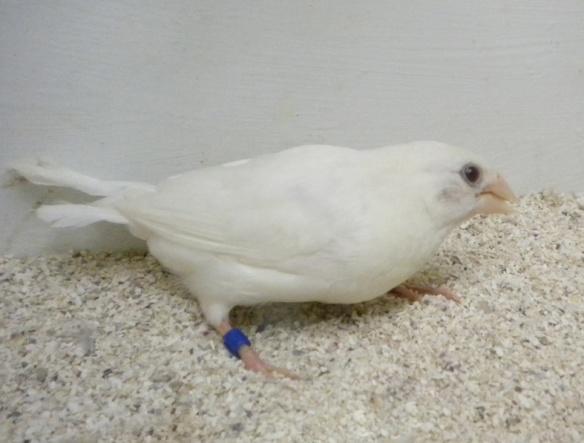 soggetto bianco con piumaggio lungo