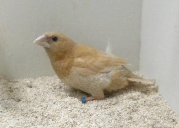 Rosso bruno pastello (maschio)