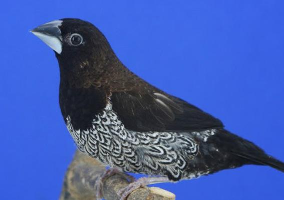 Nero bruno (maschio)