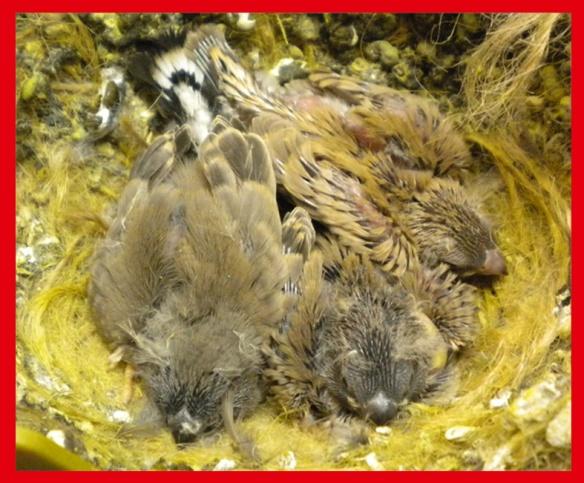 Due grigio becco giallo e un bruno becco giallo a 15 giorni