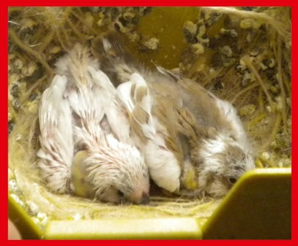 Grigio guancia insieme ad un bruno pezzato a 15 giorni