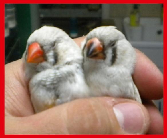 Da SN: Grigio mascherato o. rosso e grigio mascherato o. nero (femmine di 45 giorni) a confronto