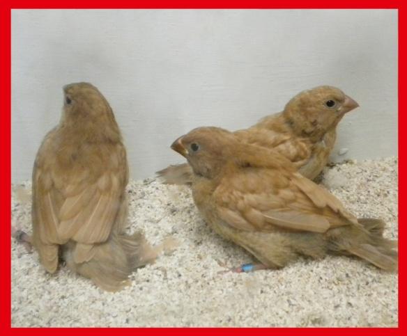 Tre rosso bruno a 40 giorni