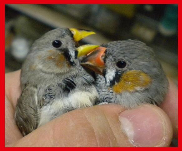 Grigio becco giallo e portatore (maschi) a confronto a 35 giorni