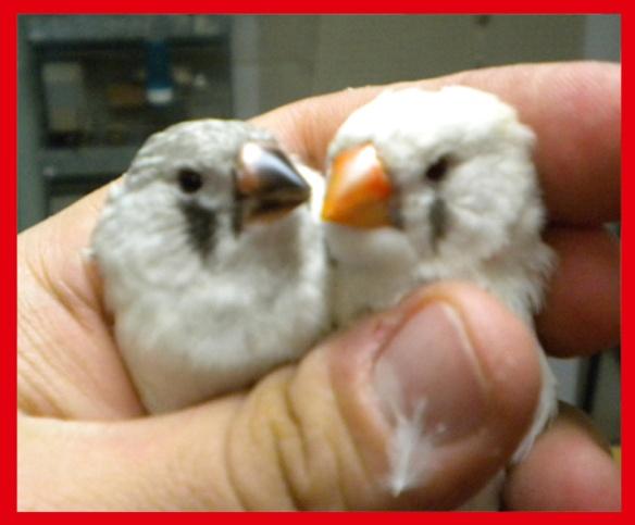 Da SN: Grigio mascherato o. n. e grigio mascherato occhio rosso (femmine di 45 giorni) a confronto