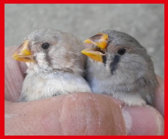 Bruno becco giallo e grigio becco giallo a 40 giorni (femmine)