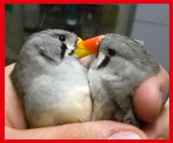 Grigio becco giallo e portatore (femmine) a confronto a 50 giorni
