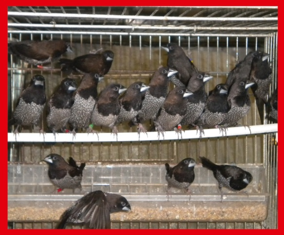 Giovani nero bruno in fase di completamento muta