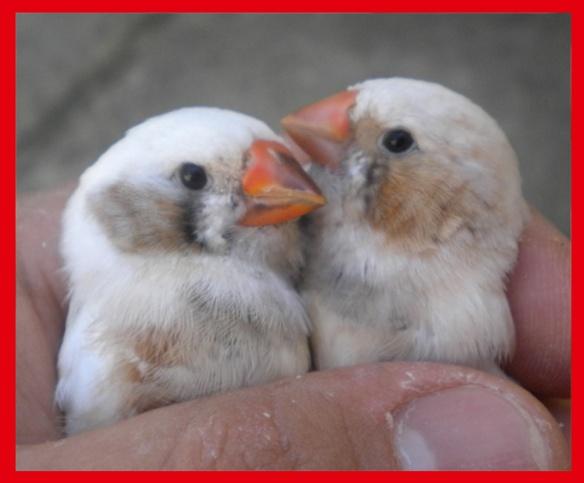Grigio guancia e bruno guancia (maschi) a 45 giorni