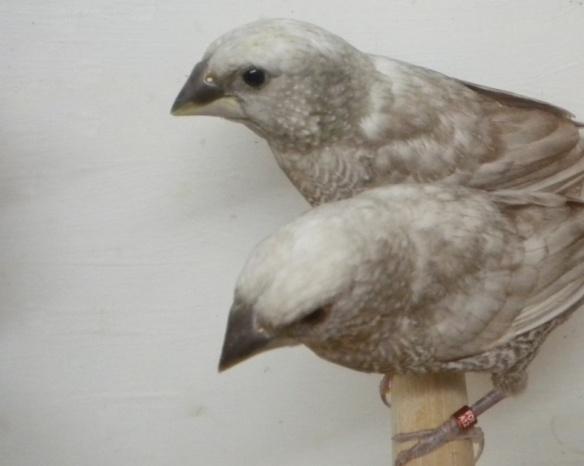 Perla grigio (coppia)