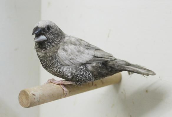 Perla grigio (maschio)