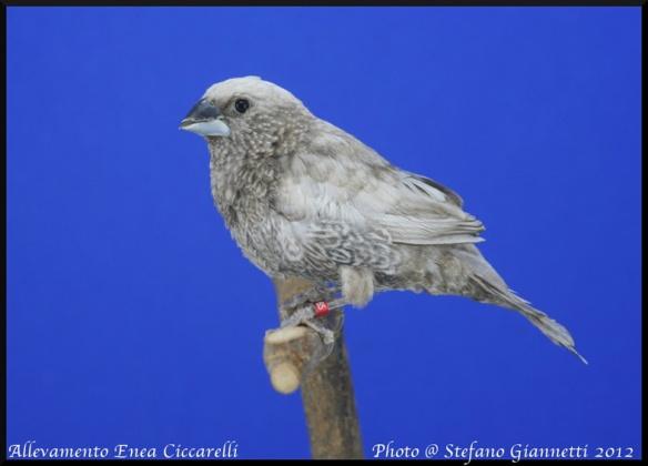 Nero grigio (maschio)