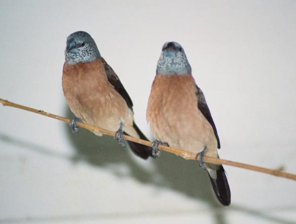 Becco di piombo testa perlata (coppia)