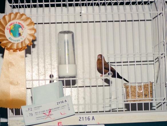 Becco d'argento ventre scuro (Stamm 3° class. Campionato Mondiale 1999