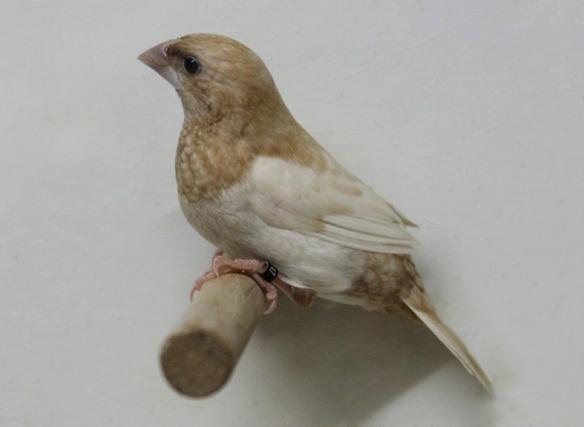 Rosso bruno pastello ali chiare (maschio)