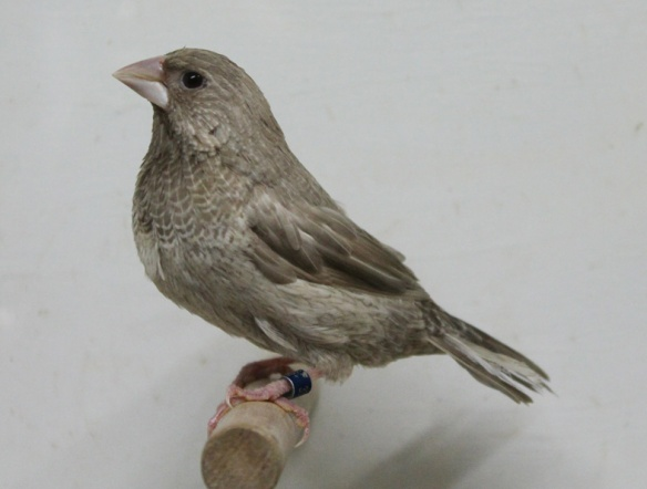 Rosso grigio (maschio)
