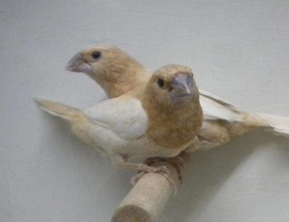 Rosso bruno pastello ali chiare (coppia)